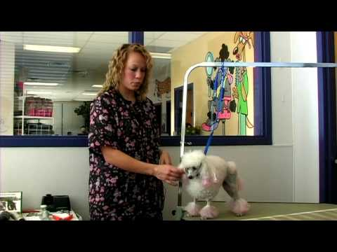 Choosing the Right Dog Grooming Style For Your Poodle