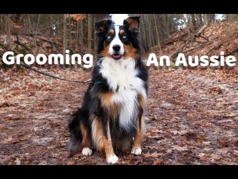 Dog Grooming Styles For Your Aussie